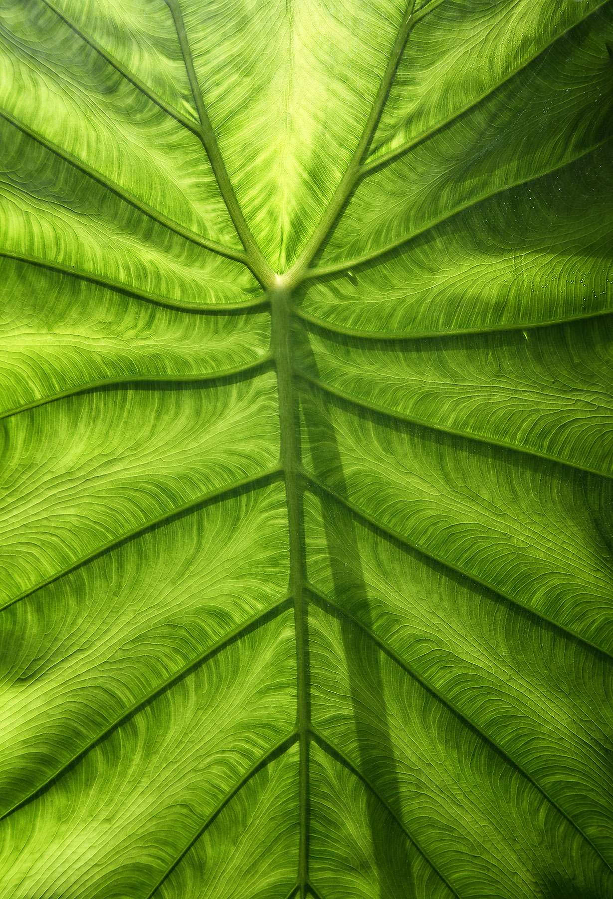 elephant ear leaf